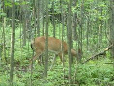 Bambi, cerf en parc Michel Chartrand Michel, Bambi, Kangaroo, Pictures, Animals, Deer, Animais, Animales, Photos
