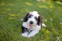 Meet Acey! - Old English Sheep Dog