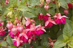 Fuchsia 'San Diego'   Flickr - Photo Sharing!