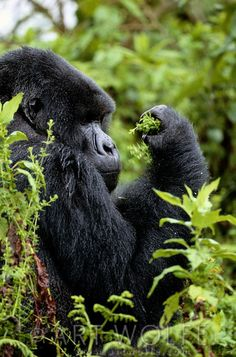 Africa | Mountain Gorilla, Volcanoes National Park, Rwanda | © Art Wolfe