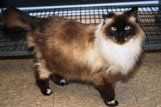 Meet Oreo, a Petfinder adoptable Siamese Cat | Kankakee, IL | Oreo is an 11 year old female Siamese/Himalayan. She is spayed, up to date on shots, and front...