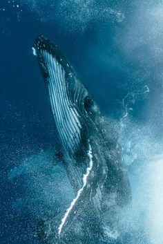 Photographer Captures a Humpback Whale Fight Up Close
