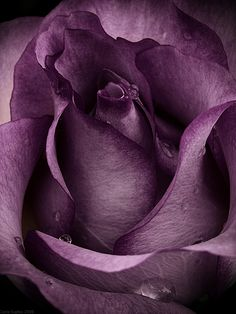 """Purple Rose"" by Photo-Witch ... gorgeous shade of purple <3 wow i wana tattoo that"