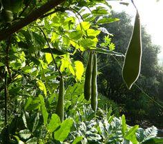 Wisteria Wisteria, Plant Leaves, Fruit, Plants, Plant, Planets