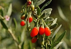 Goji berry: How to plant your own backyard superfruit