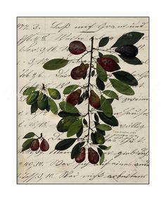 Rustic Italian Garden Plums VIII Giclee 8x10 Print