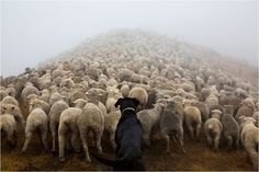 working-dog-photography-shepherds-realm-andrew-fladeboe-11