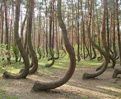 Polonya'daki bu yamuk orman gerçekten çok ilginç. Yaklaşık 400 kadar ağaç, topraktan çıkar çıkmaz 90 derecelik bir eğim yapıp daha sonra normal şekilde yükseliyor. Nedeni ise tamamen belirsiz....