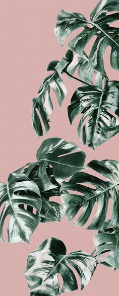 Pink Monstera Mural Pink and Monstera Wallpaper Forest Homes Leaves Wallpaper Iphone, Plant Wallpaper, Tropical Wallpaper, Pastel Wallpaper, Cute Wallpaper Backgrounds, Wallpaper Iphone Cute, Aesthetic Iphone Wallpaper, Pink And Green Wallpaper, Pink Walpaper