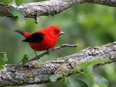 Scarlet Tanager - I see these on occasion in New York :) Gorgeous!