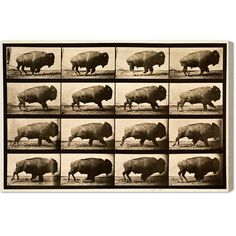 Found it at AllModern - Buffalo in Motion Photographic Print on Wrapped Canvas