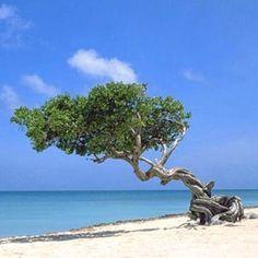 Divi divi tree in Aruba...