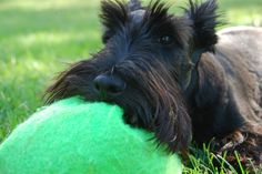 Just Like My Scottie Girl, she sleeps with her toys...