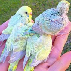 A handful of baby Rainbow Budgies.