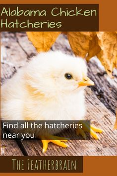 Find chicken hatcheries near you in the state of Alabama, and learn which breeds they carry. Whether you want rare, friendly heritage breeds, the best egg layers, or beautiful giant breeds, you'll learn where to find them here. Types Of Chickens, Raising Chickens, Silkie Chickens, Plymouth Rock, Red Olive, English Games, Chicken Breeds, Backyard Chickens, Chicken Eggs