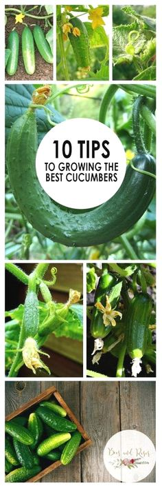 Here's how you can grow the best cucumbers!  #GardeningTips