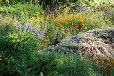 "The Santa Barbara Botanic Garden - ""Santa Barbara's Hidden Gem"" By Bruce Anderson, Sunset Magazine. California quail perched on top of Artemisia Canyon Gray (photo by Tricia Wardlaw)"