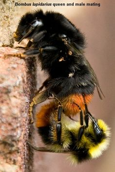 Queen Mating