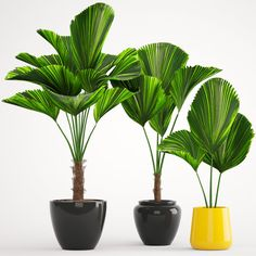Licuala palm 3D model - TurboSquid 1216837