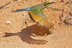 Swallow-tailed Bee-eater at nest in the Kgalagadi Transfrontier Park, Kalahari Desert, South Africa: Photographed by Shane Saunders  (Cape Town, RSA)