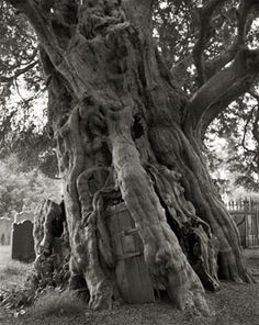 Crowhurst Yew - Beth Moon Photography
