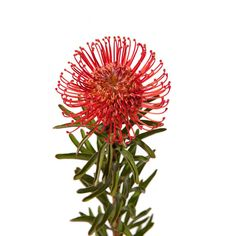 Protea (Pincushion) flower.  Beautiful inspiration for thread sketching or embroidery.