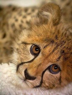 Hello sweetheart Big Cats, Crazy Cats, Cats And Kittens, Cute Cats, Cute Baby Animals, Animals And Pets, Funny Animals, Beautiful Cats, Animals Beautiful