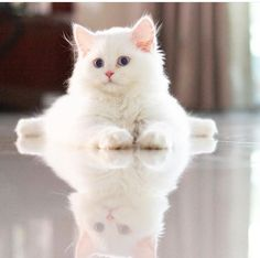 Here's our top pick for! Like share then post a picture of your cute cat below! Just Love Cats Here's our top pick for! Like share then post a picture of your cute cat below! Just Love Cats White Kittens, Cute Cats And Kittens, I Love Cats, Crazy Cats, Cool Cats, Kittens Cutest, Pretty Cats, Beautiful Cats, Animals Beautiful