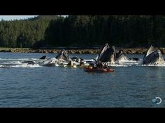 Humpback Whales Startle Kayakers | North America  https://www.youtube.com/watch?v=G10_wHNNPeI