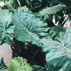 I got my eyes on this big leaf plant (not sure of the name) should I get it?? 🌿