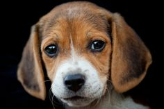 Beagles are small sized breed of dogs that are used mostly for hunting. The pets have been around since ancient Greek in one form or another. These dogs have a happy alert character ...