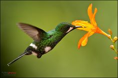 Green Thorntail (Female) | Flickr - Photo Sharing!
