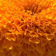 close-up of a marigold