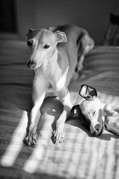 - Italian Greyhound
