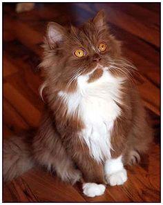 British longhair cat,cinnamon with white
