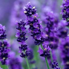 Lavender - 50 seeds - Lavandula angustifolia#angustifolia #lavandula #lavender #seeds Growing Lavender From Seed, Lavender Seeds, Lavender Flowers, Lavender Garden, House Plants Decor, Plant Decor, Kolkata, Butterfly Weed, Butterflies