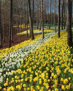 Gibbs Gardens more than 50 acres of daffodils is the largest display of daffodils in the nation. Description from prweb.com. I searched for this on bing.com/images