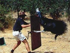 The Cassowary. It is the most dangerous bird in the world. From Australia, this picture shows how the cassowary attacks using it's height and claws. Cassowary Bird, Feathered Dinosaurs, Animal Attack, Dangerous Animals, Flightless Bird, Scary Places, Visit Australia, Australia Funny, Australian Animals