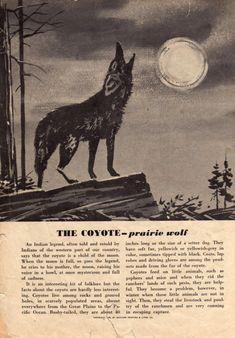 vintage coyote illustration - Google Search