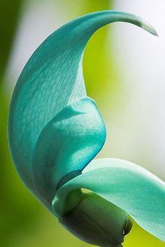 Jade vine - Aqua Blue, Turquoise, my fave flower. Turquoise Flowers, Shades Of Turquoise, Shades Of Green, Blue Green, Aqua Blue, Purple, Exotic Flowers, Tropical Flowers, Beautiful Flowers