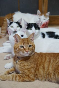 ねこ Orange Tabbies like this one. He looks just like my late Scooter Poo, gee I miss him!!! qb