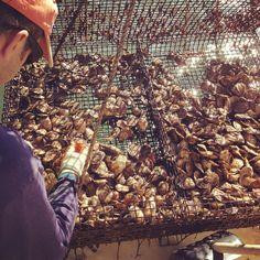 Oyster harvest - Cedar Point, Durham NH