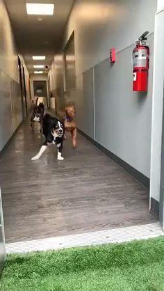 Animal Jokes, Funny Animal Memes, Dog Memes, Funny Animal Pictures, Dog Pictures, Cute Funny Dogs, Cute Cows, Cute Funny Animals, Funny Dog Videos