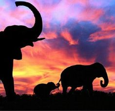 Beauty in many ways Animal photography silhouette photos All About Elephants, Save The Elephants, Elephants Photos, Elephant Pictures, Beautiful Creatures, Animals Beautiful, Cute Animals, Asian Elephant, Elephant Love