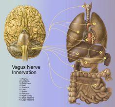 Afbeeldingsresultaat voor afbeelding zenuwen plus hersenen