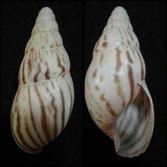 Archachatina semidecussata (Pfeiffer, 1861) - Leisure Bay, Kwazulu Natal