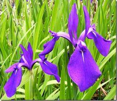 Carroll's Country Gardens Nursery - Water Iris