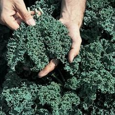 Kale Vates Blue Curled Great Heirloom Vegetable 500 Seeds by seed kingdom. $0.99. Very cold tolerant. Heirloom vegetable. 500 Seeds. Days Until Harvest: 55. Brassica oleracea. 55 days. Vigorous, 15 inch plants with finely curled, blue-green, vitamin-rich leaves. Very cold tolerant. Use as durable garnish, as a cooked side dish, or as a seasoning for stews.