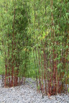 miscanthus flame grass m sinensis 39 purpurascens 39 makes. Black Bedroom Furniture Sets. Home Design Ideas