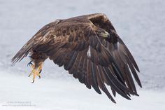 A wild golden eagle lifts off in Yellowstone National Park.